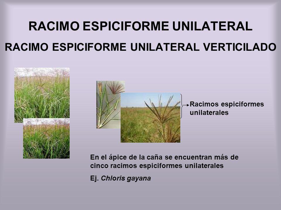 RACIMO ESPICIFORME UNILATERAL RACIMO ESPICIFORME UNILATERAL VERTICILADO Racimos espiciformes unilaterales En el ápice de la caña se encuentran más de