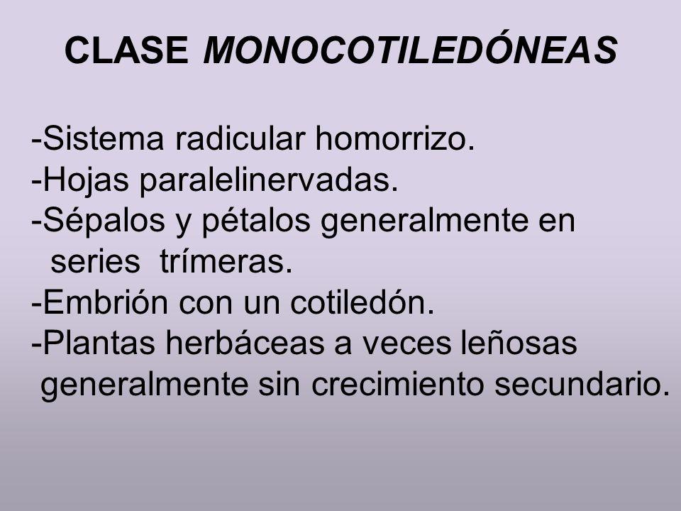 CLASE MONOCOTILEDÓNEAS -Sistema radicular homorrizo. -Hojas paralelinervadas. -Sépalos y pétalos generalmente en series trímeras. -Embrión con un coti