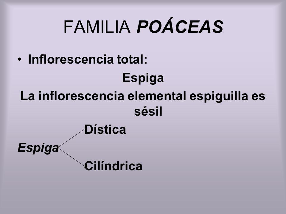 FAMILIA POÁCEAS Inflorescencia total: Espiga La inflorescencia elemental espiguilla es sésil Dística Espiga Cilíndrica