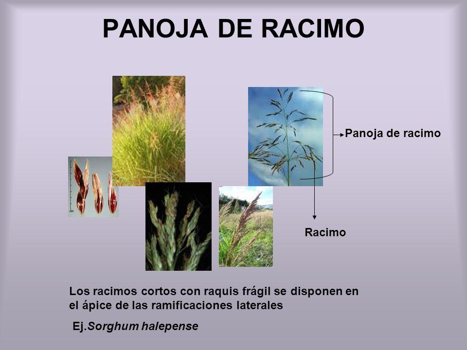 PANOJA DE RACIMO Los racimos cortos con raquis frágil se disponen en el ápice de las ramificaciones laterales Ej.Sorghum halepense Panoja de racimo Ra