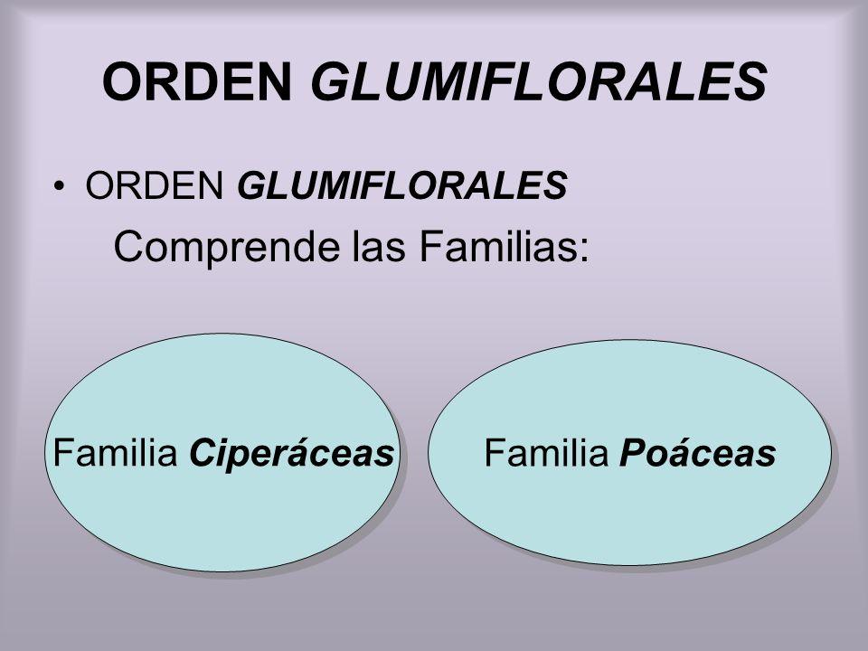 ORDEN GLUMIFLORALES Comprende las Familias: Familia Ciperáceas Familia Poáceas