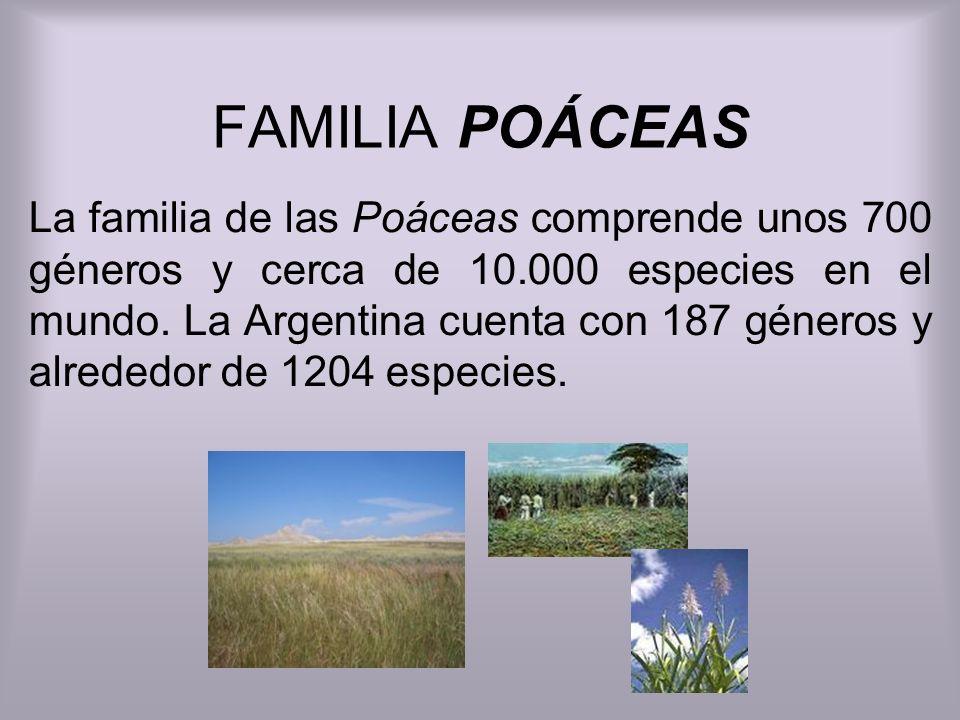 FAMILIA POÁCEAS La familia de las Poáceas comprende unos 700 géneros y cerca de 10.000 especies en el mundo. La Argentina cuenta con 187 géneros y alr