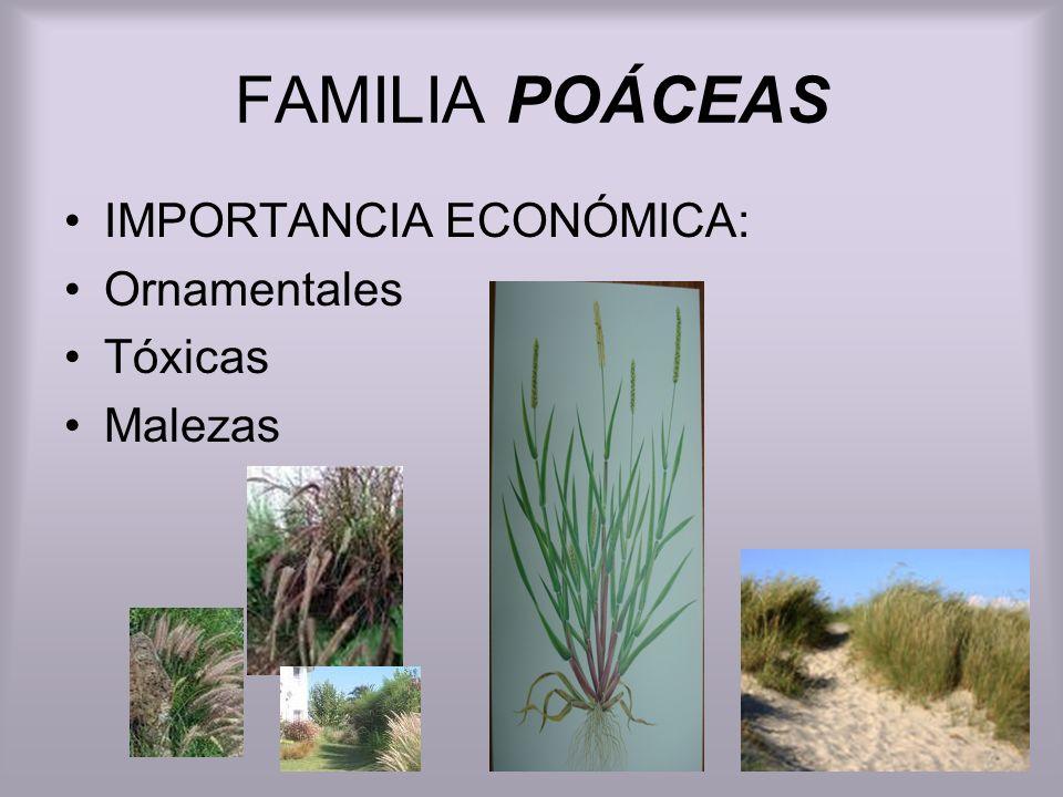 FAMILIA POÁCEAS Hierbas anuales o perennes.Tallo tipo caña de sección circular huecos o macizos.