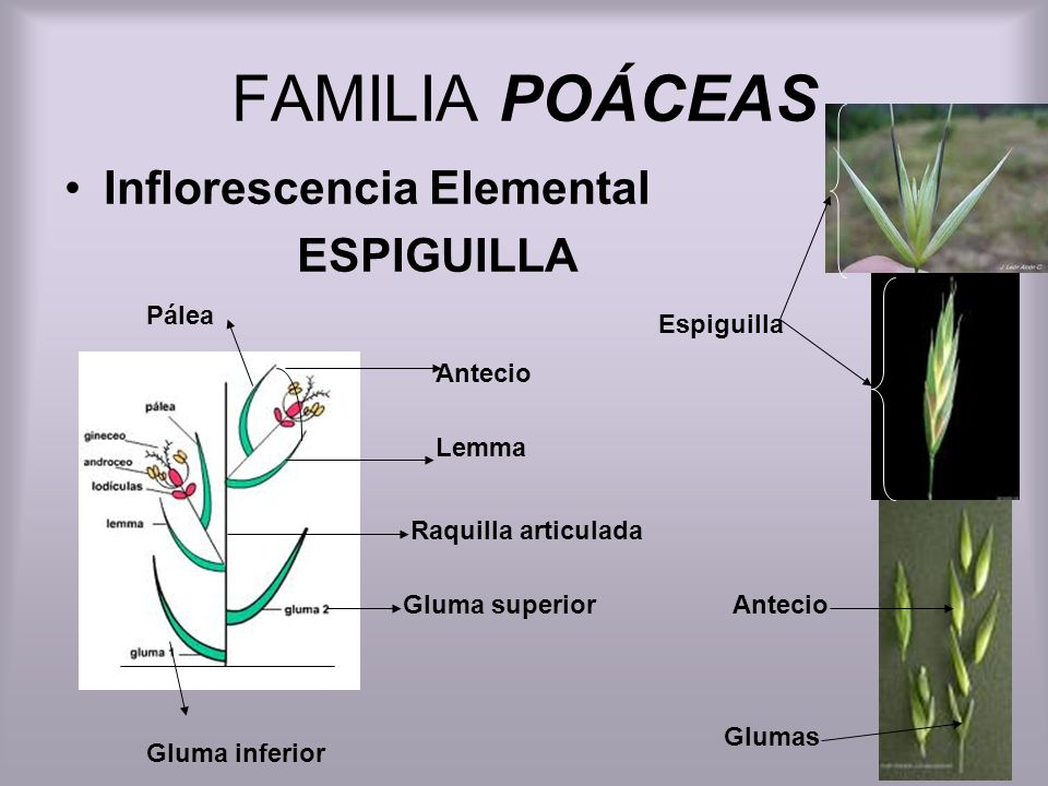 FAMILIA POÁCEAS Inflorescencia Elemental ESPIGUILLA Gluma inferior Gluma superior Lemma Pálea Antecio Raquilla articulada Espiguilla Antecio Glumas