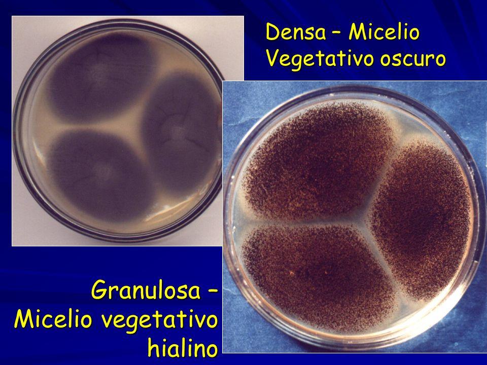 Granulosa – Micelio vegetativo hialino Densa – Micelio Vegetativo oscuro