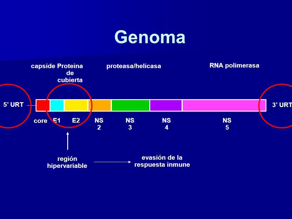 región hipervariable capsideProteina de cubierta proteasa/helicasa RNA polimerasa 5 URT core E1E2NS 2 NS 3 NS 4 NS 5 3 URT Genoma evasión de la respue