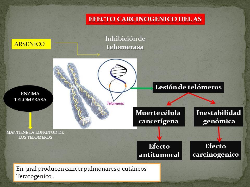 EFECTO CARCINOGENICO DEL AS Lesión de telómeros Muerte célula cancerígena Inestabilidad genómica Efecto antitumoral Efecto carcinogénico ENZIMA TELOME