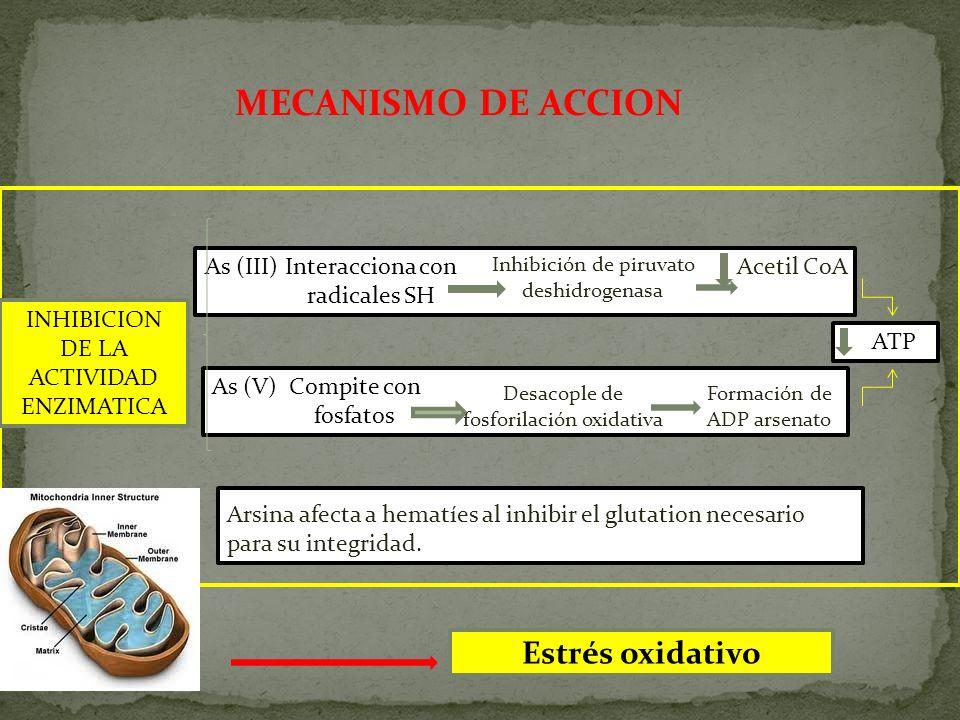 MECANISMO DE ACCION INHIBICION DE LA ACTIVIDAD ENZIMATICA As (III) Interacciona con radicales SH Inhibición de piruvato deshidrogenasa Acetil CoA As (