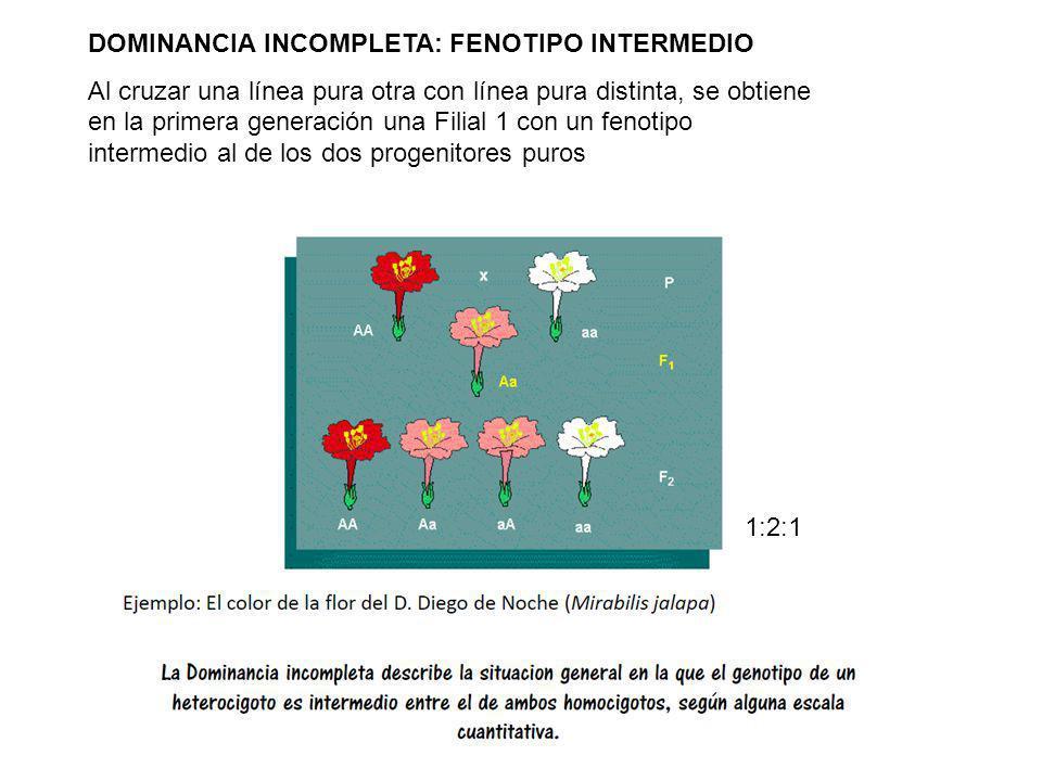Tema 3: Principios mendelianos y extensiones DOMINANCIA INCOMPLETA: FENOTIPO INTERMEDIO Al cruzar una línea pura otra con línea pura distinta, se obti