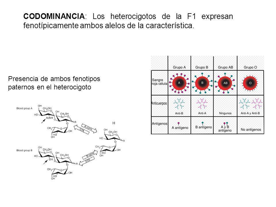 CODOMINANCIA: Los heterocigotos de la F1 expresan fenotípicamente ambos alelos de la característica. Presencia de ambos fenotipos paternos en el heter