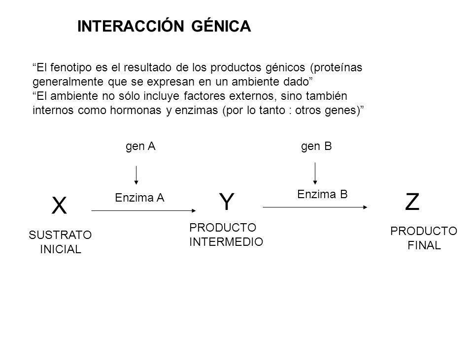 El fenotipo es el resultado de los productos génicos (proteínas generalmente que se expresan en un ambiente dado El ambiente no sólo incluye factores