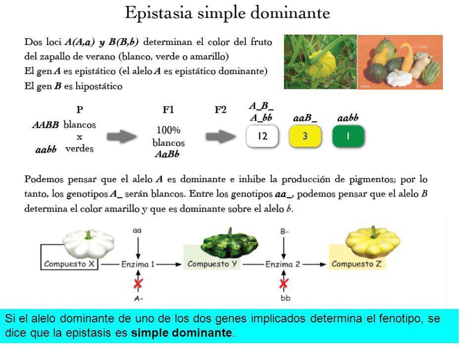 Si el alelo dominante de uno de los dos genes implicados determina el fenotipo, se dice que la epistasis es simple dominante.