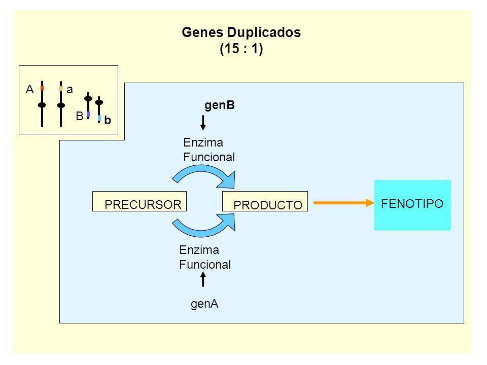 Aa B b genB Enzima Funcional PRECURSOR PRODUCTO genA Enzima Funcional FENOTIPO Genes Duplicados (15 : 1)