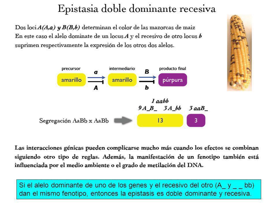 Si el alelo dominante de uno de los genes y el recesivo del otro (A_ y _ _ bb) dan el mismo fenotipo, entonces la epistasis es doble dominante y reces