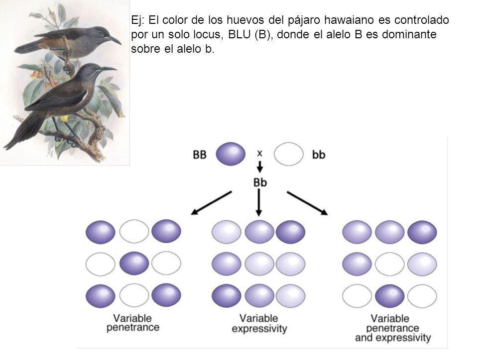 Ej: El color de los huevos del pájaro hawaiano es controlado por un solo locus, BLU (B), donde el alelo B es dominante sobre el alelo b.