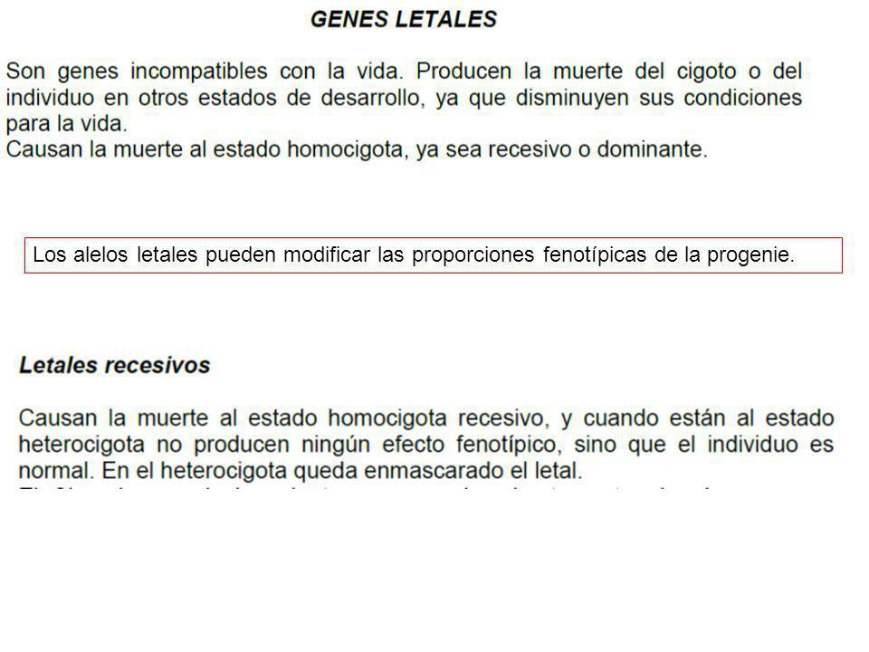Los alelos letales pueden modificar las proporciones fenotípicas de la progenie.