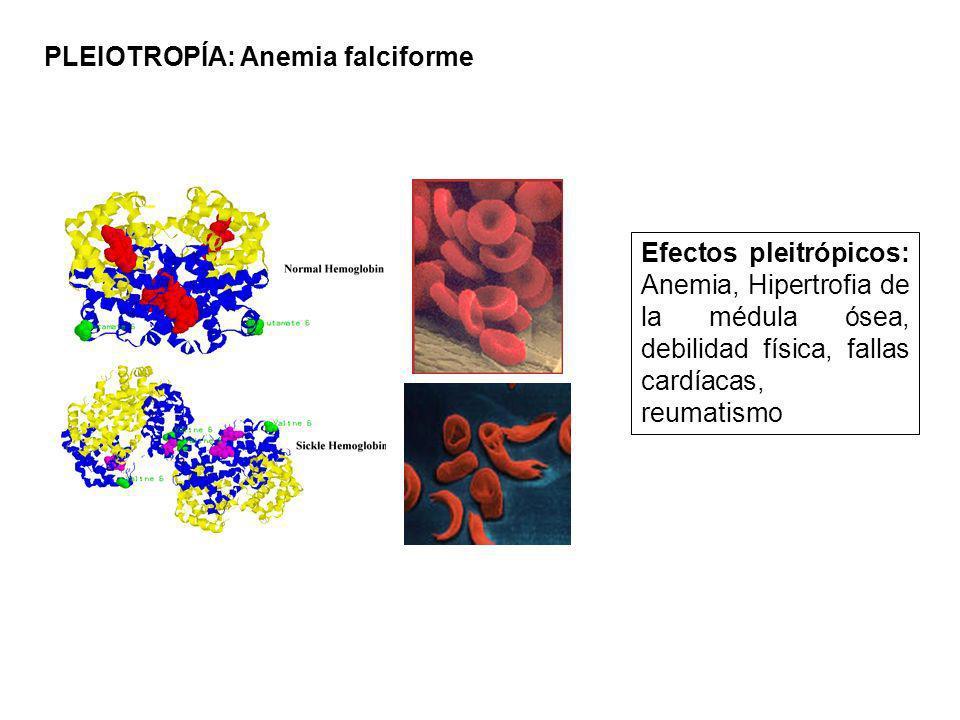 PLEIOTROPÍA: Anemia falciforme Efectos pleitrópicos: Anemia, Hipertrofia de la médula ósea, debilidad física, fallas cardíacas, reumatismo