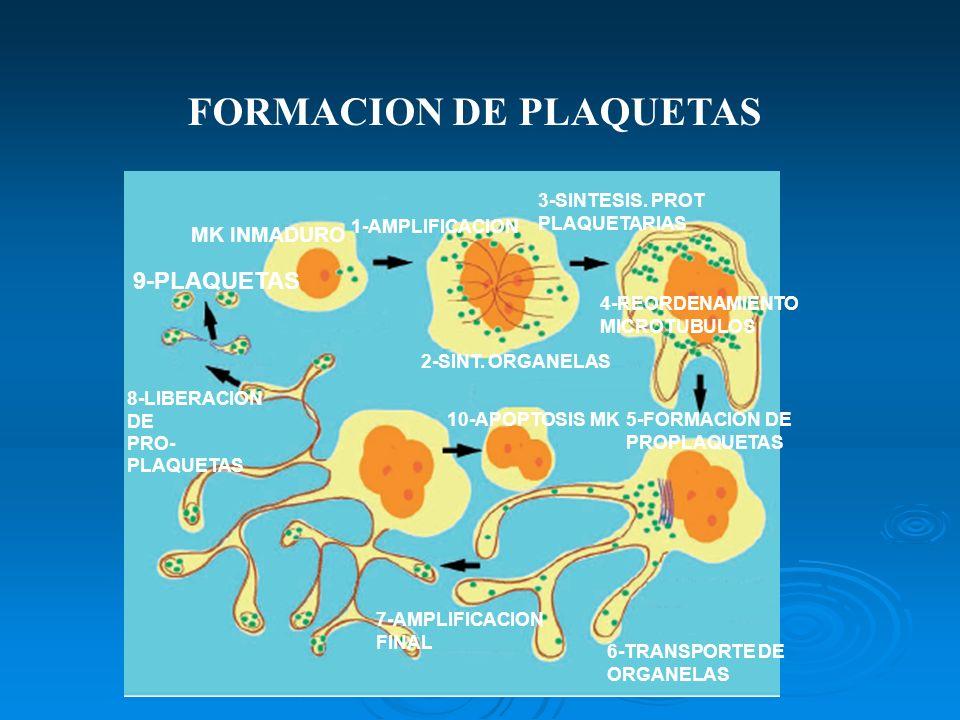 MK INMADURO 1-AMPLIFICACION 2-SINT. ORGANELAS 3-SINTESIS. PROT PLAQUETARIAS 4-REORDENAMIENTO MICROTUBULOS 5-FORMACION DE PROPLAQUETAS 6-TRANSPORTE DE