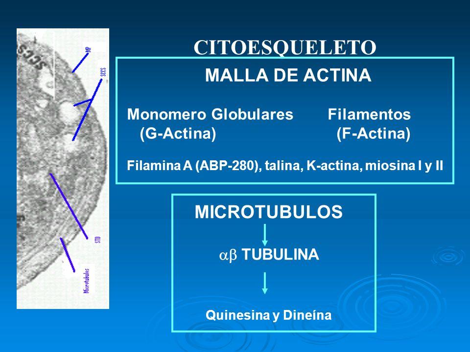 CITOESQUELETO MICROTUBULOS TUBULINA Quinesina y Dineína MALLA DE ACTINA Monomero Globulares Filamentos (G-Actina) (F-Actina) Filamina A (ABP-280), tal