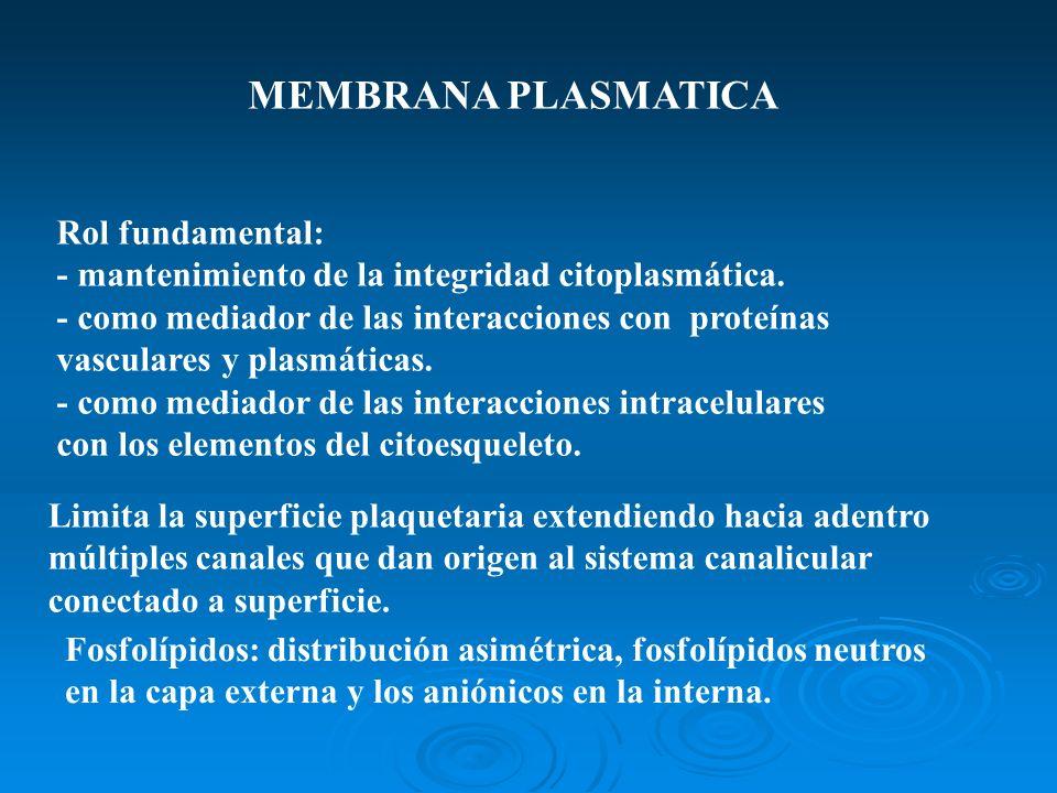 MEMBRANA PLASMATICA Rol fundamental: - mantenimiento de la integridad citoplasmática. - como mediador de las interacciones con proteínas vasculares y