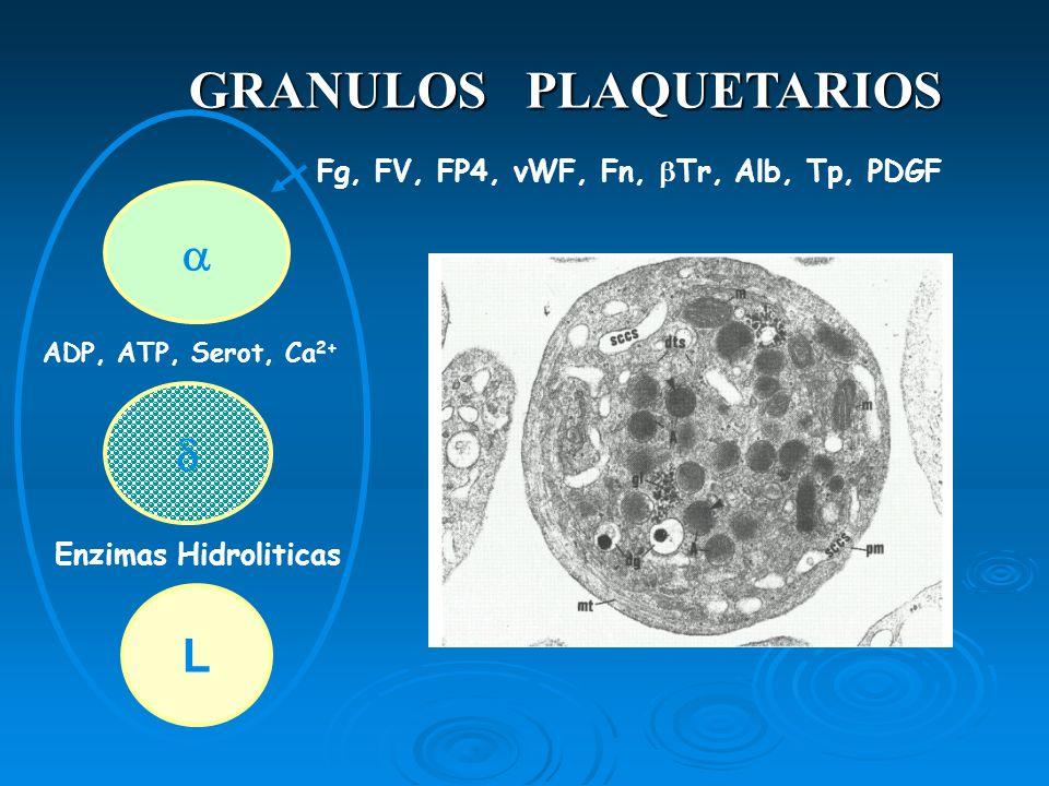 GRANULOS PLAQUETARIOS L Fg, FV, FP4, vWF, Fn, Tr, Alb, Tp, PDGF ADP, ATP, Serot, Ca 2+ Enzimas Hidroliticas