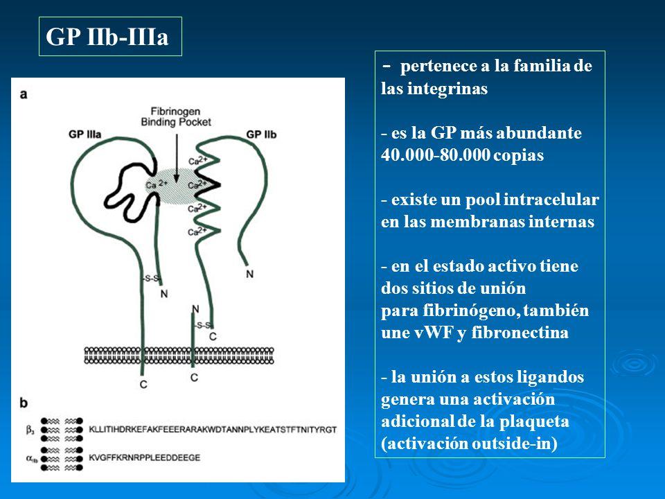 GP IIb-IIIa - pertenece a la familia de las integrinas - es la GP más abundante 40.000-80.000 copias - existe un pool intracelular en las membranas in