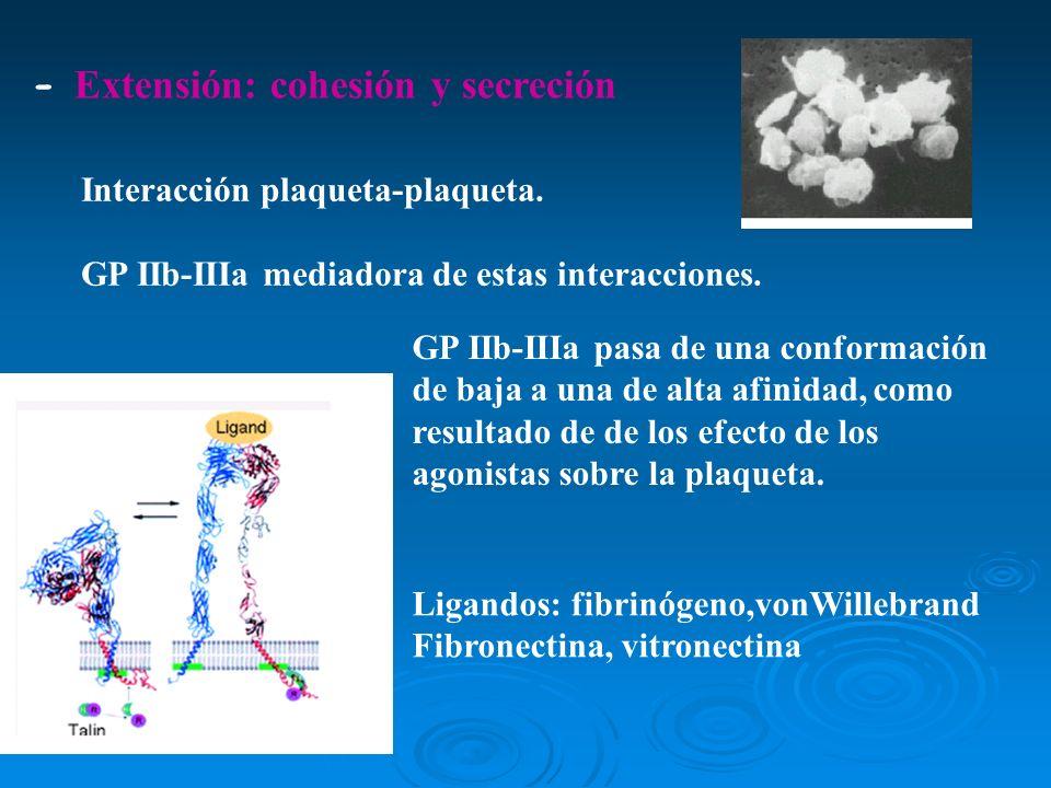 Interacción plaqueta-plaqueta. GP IIb-IIIa mediadora de estas interacciones. - Extensión: cohesión y secreción GP IIb-IIIa pasa de una conformación de