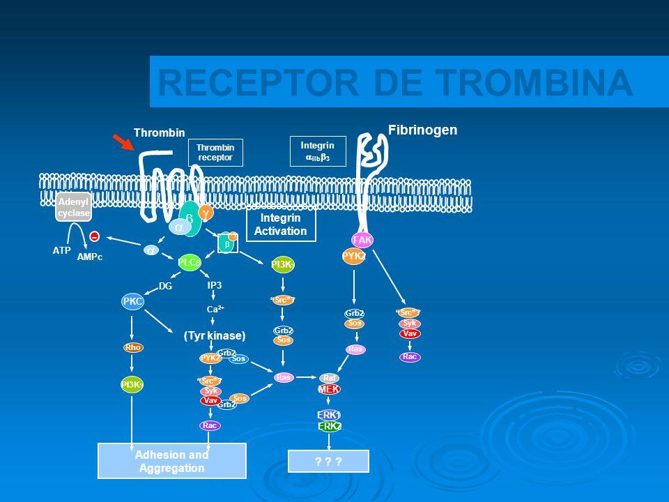 Sos Grb2 Sos Grb2 Thrombin Fibrinogen FAK PYK2 PLC PI3K Integrin Activation DG IP3 PKC (Tyr kinase) Ca 2+ PYK2 PI3K Src? Syk Vav Rac Grb2 Sos Grb2 Sos