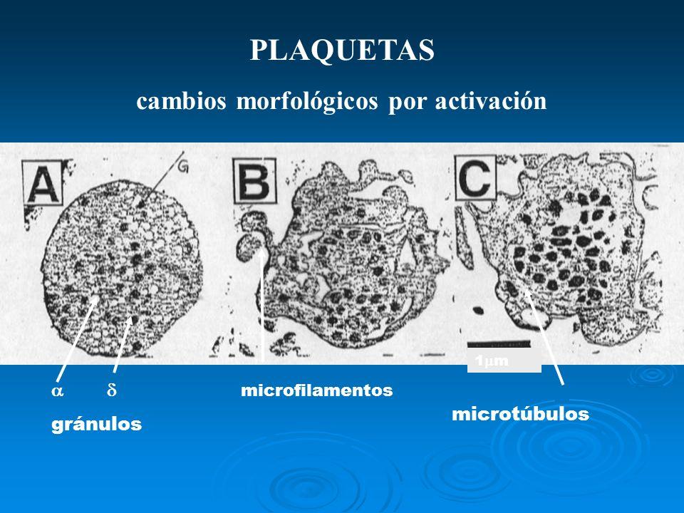 PLAQUETAS cambios morfológicos por activación microtúbulos 1 m microfilamentos gránulos