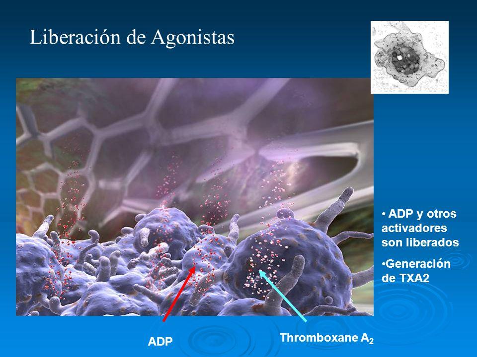 ADP Thromboxane A 2 ADP y otros activadores son liberados Generación de TXA2 Liberación de Agonistas