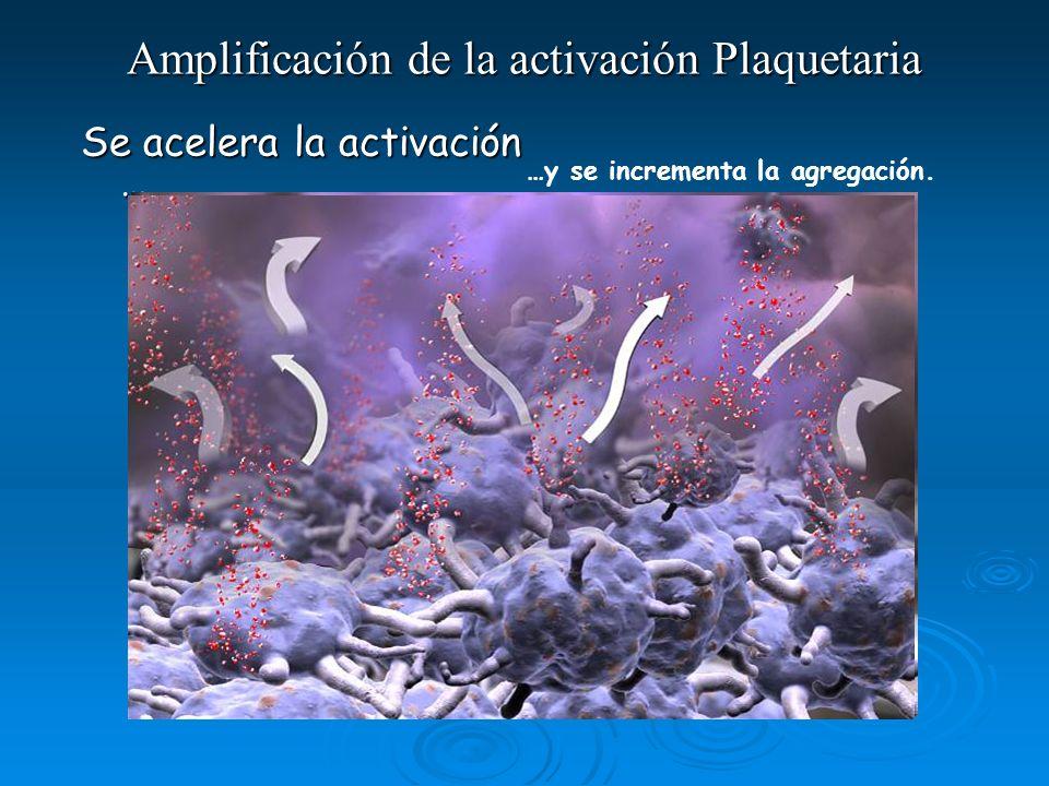 …y se incrementa la agregación. Amplificación de la activación Plaquetaria Se acelera la activación …