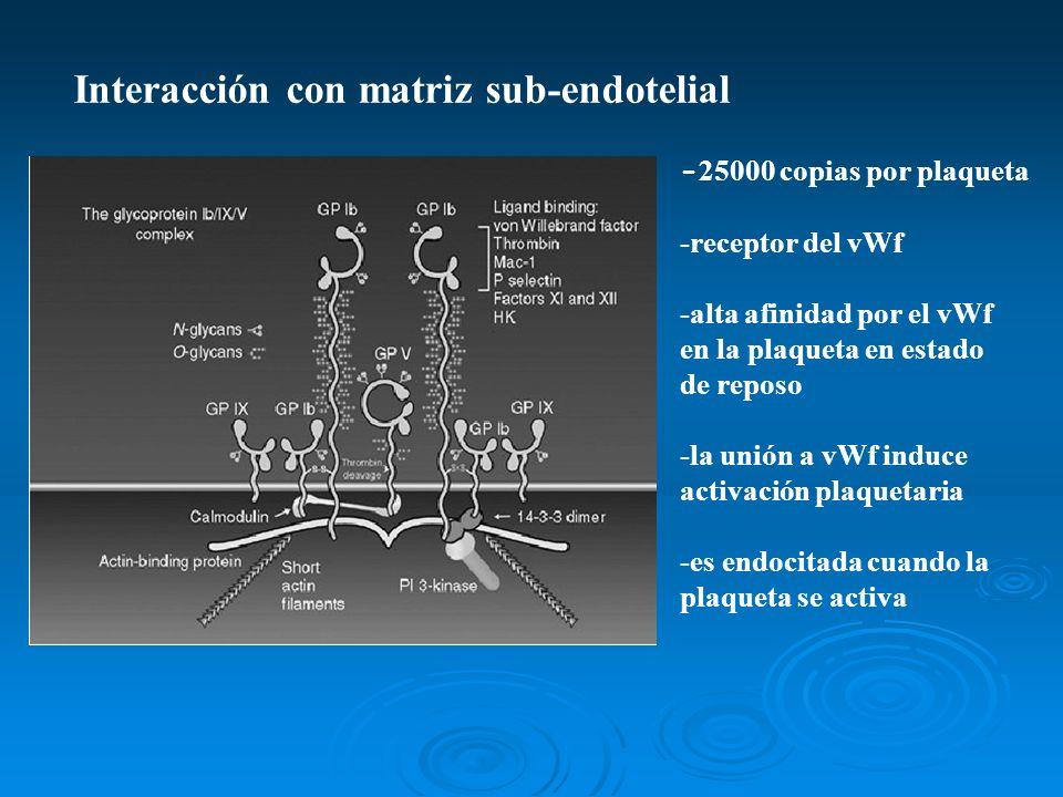 Interacción con matriz sub-endotelial - 25000 copias por plaqueta -receptor del vWf -alta afinidad por el vWf en la plaqueta en estado de reposo -la u