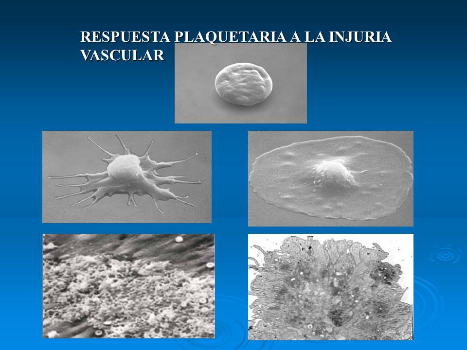 ACTIVACIÓN DE LAS PLAQUETAS Cambios morfológicos: tiene lugar la metamorfosis viscosa, con transformación de la forma de disco y aumento de seudópodos.