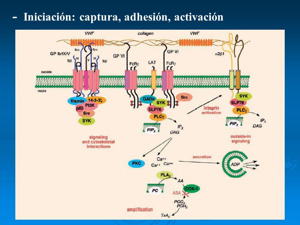 - Iniciación: captura, adhesión, activación