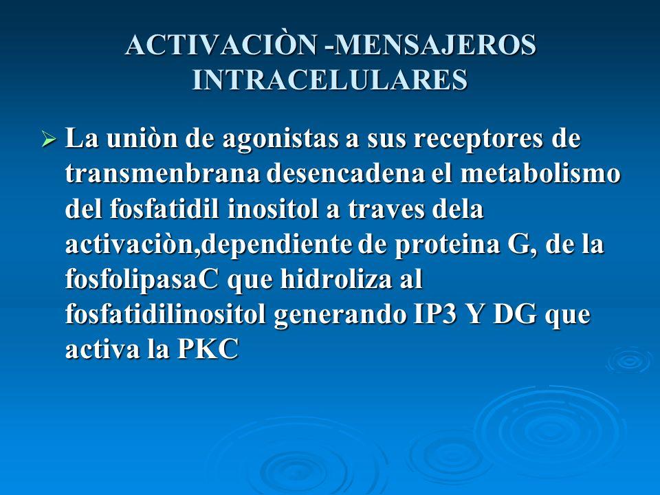 ACTIVACIÒN -MENSAJEROS INTRACELULARES La uniòn de agonistas a sus receptores de transmenbrana desencadena el metabolismo del fosfatidil inositol a tra