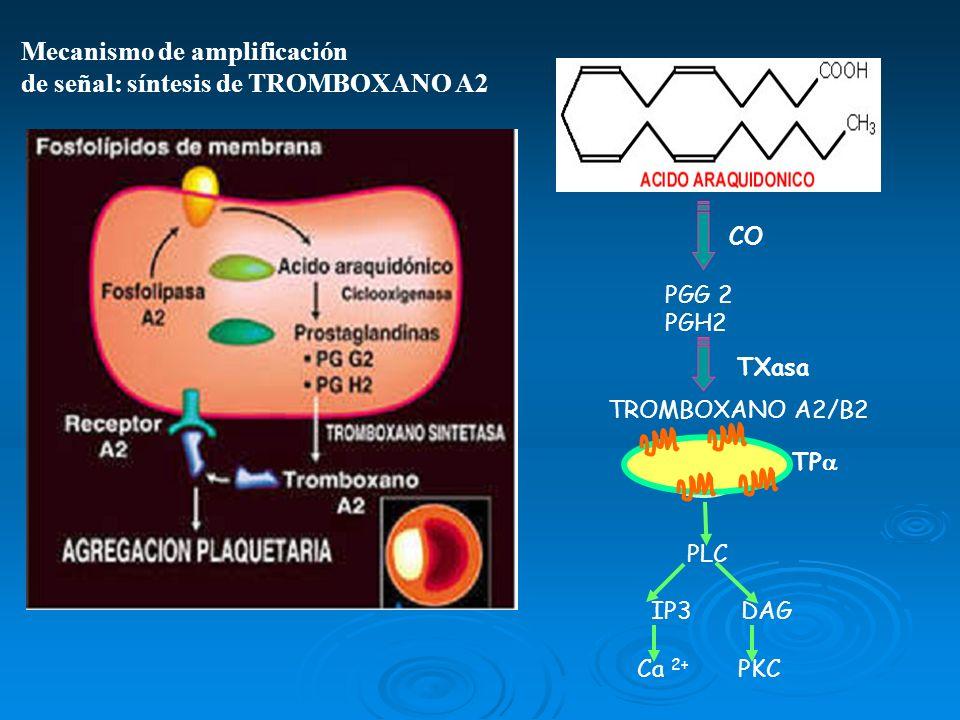PGG 2 PGH2 TROMBOXANO A2/B2 PLC IP3 DAG Ca 2+ PKC CO TXasa TP Mecanismo de amplificación de señal: síntesis de TROMBOXANO A2