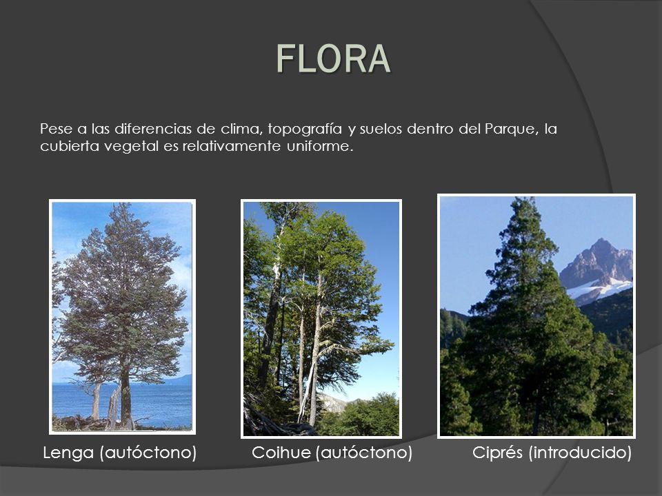 Pese a las diferencias de clima, topografía y suelos dentro del Parque, la cubierta vegetal es relativamente uniforme. FLORA Lenga (autóctono) Coihue