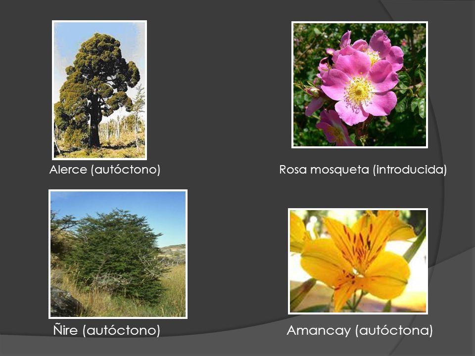 Ñire (autóctono) Amancay (autóctona) Alerce (autóctono) Rosa mosqueta (introducida)