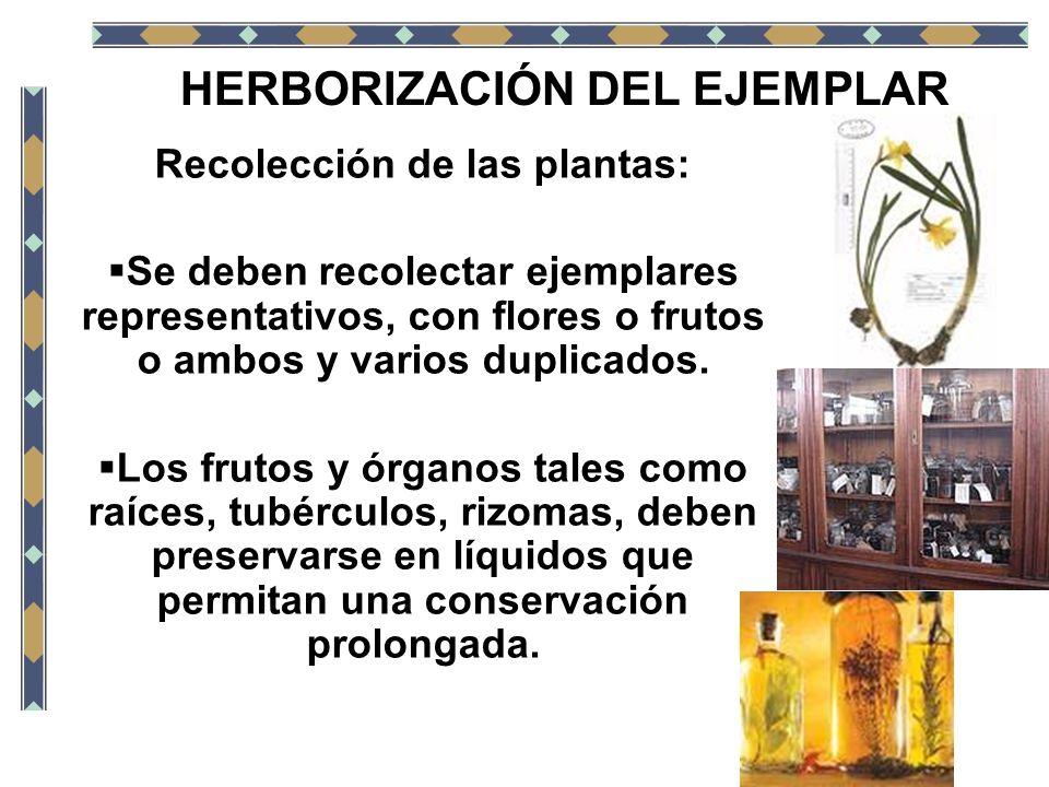 HERBORIZACIÓN DEL EJEMPLAR Recolección de las plantas: Se deben recolectar ejemplares representativos, con flores o frutos o ambos y varios duplicados