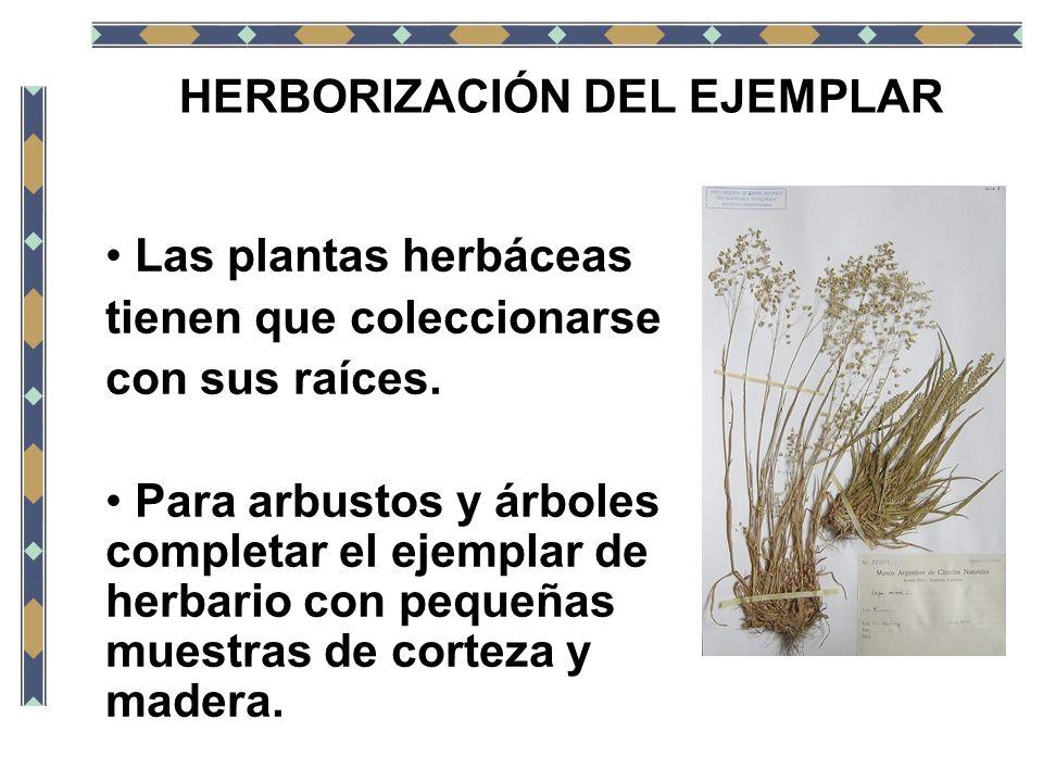 HERBORIZACIÓN DEL EJEMPLAR Las plantas herbáceas tienen que coleccionarse con sus raíces. Para arbustos y árboles completar el ejemplar de herbario co
