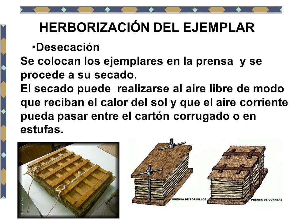 HERBORIZACIÓN DEL EJEMPLAR Desecación Se colocan los ejemplares en la prensa y se procede a su secado. El secado puede realizarse al aire libre de mod