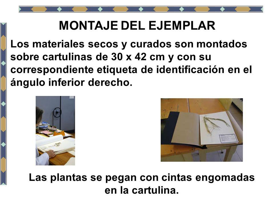 MONTAJE DEL EJEMPLAR Los materiales secos y curados son montados sobre cartulinas de 30 x 42 cm y con su correspondiente etiqueta de identificación en