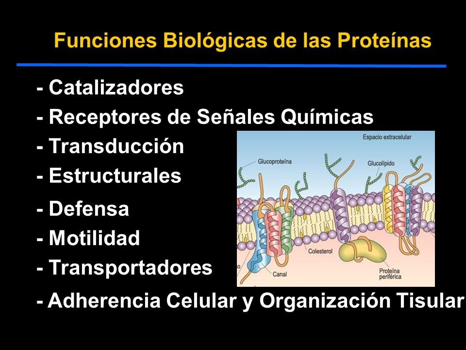 Funciones Biológicas de las Proteínas - Catalizadores - Receptores de Señales Químicas - Transportadores - Estructurales - Defensa - Motilidad - Transducción - Adherencia Celular y Organización Tisular
