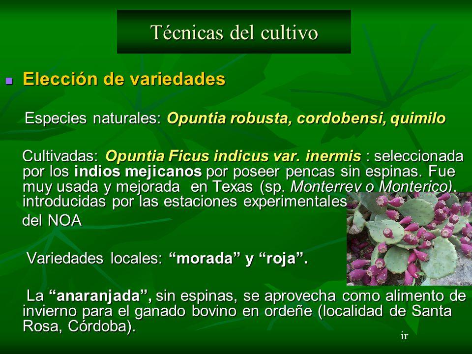 Elección de variedades Elección de variedades Especies naturales: Opuntia robusta, cordobensi, quimilo Especies naturales: Opuntia robusta, cordobensi