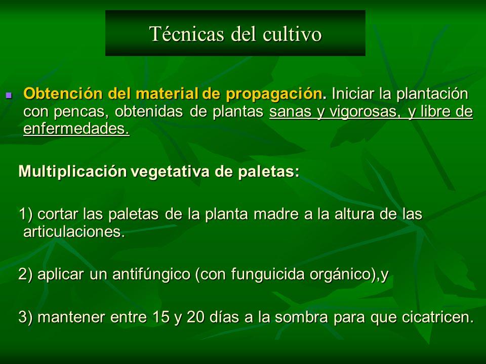 Obtención del material de propagación. Iniciar la plantación con pencas, obtenidas de plantas sanas y vigorosas, y libre de enfermedades. Obtención de