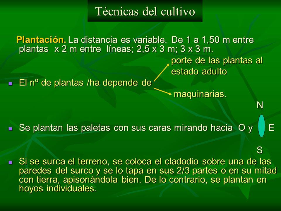 Plantación. La distancia es variable. De 1 a 1,50 m entre plantas x 2 m entre líneas; 2,5 x 3 m; 3 x 3 m. Plantación. La distancia es variable. De 1 a