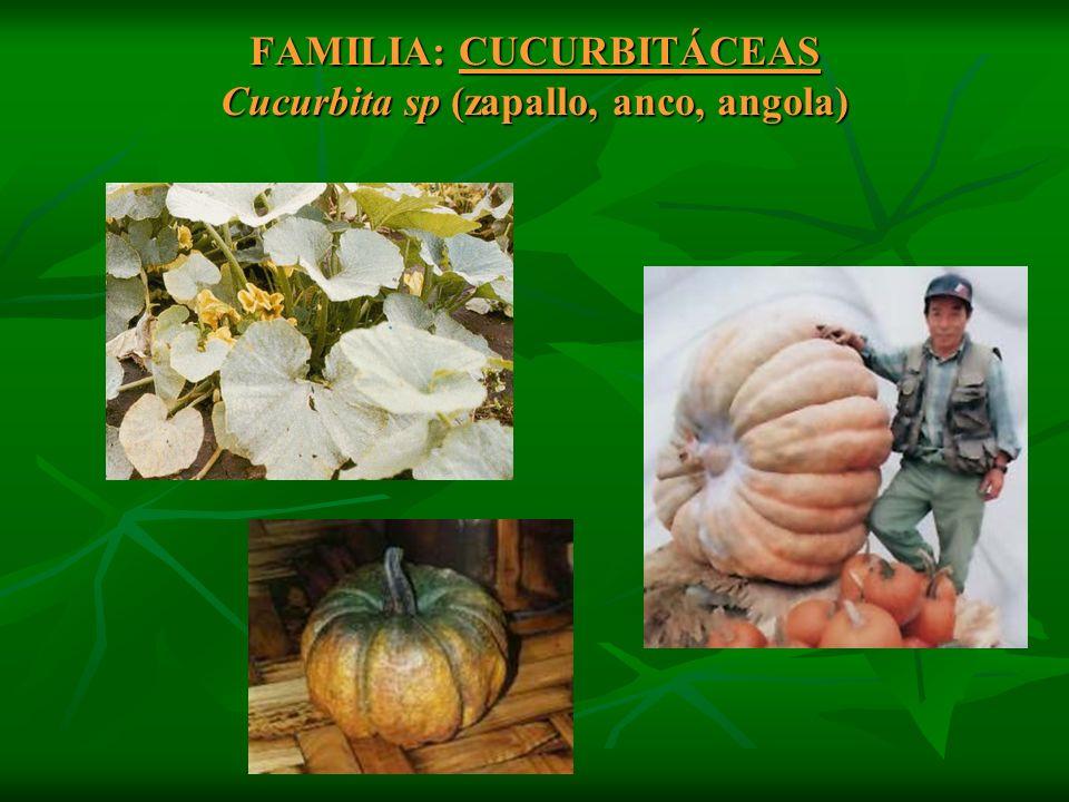FAMILIA: CUCURBITÁCEAS Cucurbita sp (zapallo, anco, angola)