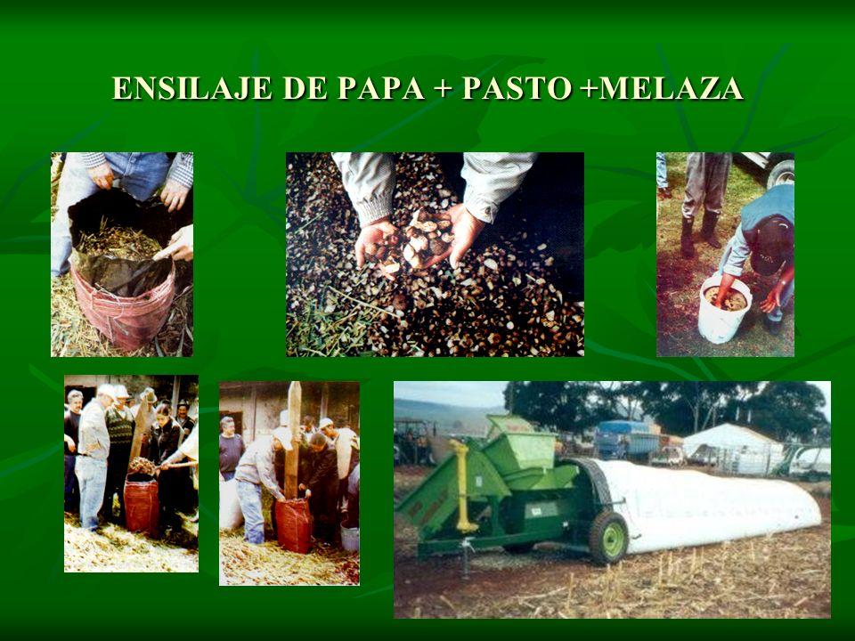ENSILAJE DE PAPA + PASTO +MELAZA
