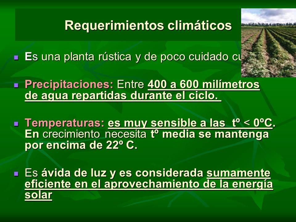 Requerimientos climáticos Es una planta rústica y de poco cuidado cultural. Es una planta rústica y de poco cuidado cultural. Precipitaciones: Entre 4