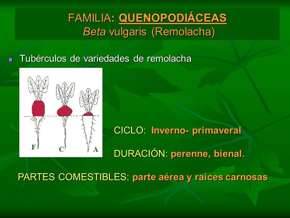 FAMILIA: QUENOPODIÁCEAS Beta vulgaris (Remolacha) Tubérculos de variedades de remolacha Tubérculos de variedades de remolacha F CA CICLO: Inverno- pri
